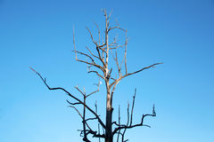 Branches de chaudière en bois sèche et de ciel bleu Photos libres de droits
