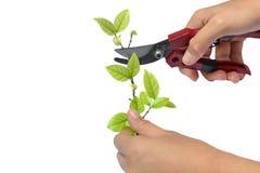 Branches de coupe de poignée Photos stock