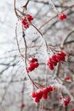 Branches de cynorrhodon couvertes de gelée. Image libre de droits