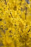 Branches de fleurs de forsythia images libres de droits