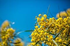 Branches de floraison de mimosa contre le ciel Images libres de droits