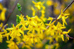 Branches de forsythia Photos stock