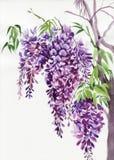 Branches de glycine Photos stock