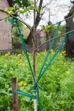 Branches de jarretière des arbres fruitiers images libres de droits