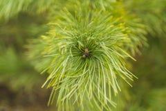 Branches de l'arbre de sapin, ressort dans la forêt Image libre de droits