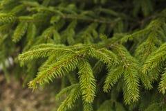 Branches de l'arbre de sapin, ressort dans la forêt Photographie stock