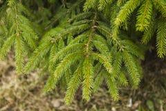 Branches de l'arbre de sapin, ressort dans la forêt Photos libres de droits