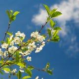 Branches de la cerise de floraison Images libres de droits