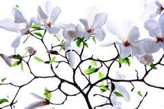 Branches de la magnolia blanche Photographie stock