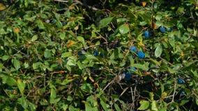 Branches de la prune, baie bleue dans le jardin d'été Photo stock