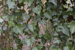 Branches de lierre Photo libre de droits