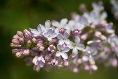 Branches de lilas Photographie stock libre de droits