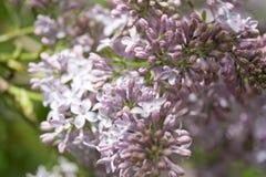 Branches de lilas Photo stock