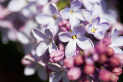 Branches de lilas Photos stock