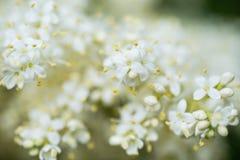 Branches de lilas d'arbre japonais Image stock