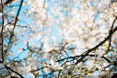 Branches de magnolia Image stock