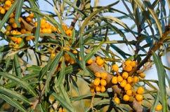 Branches de mer fraîche Photos stock