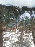 Branches de Milou d'un pin photo libre de droits
