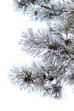 Branches de Milou de pin d'isolement sur le fond blanc photos libres de droits