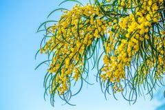 Branches de mimosa accrochant vers le bas contre le ciel Photographie stock libre de droits