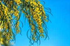 Branches de mimosa accrochant vers le bas contre le ciel Photos libres de droits