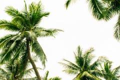 Branches de paumes au fond blanc Image stock