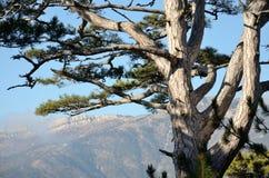 Branches de pin Images libres de droits