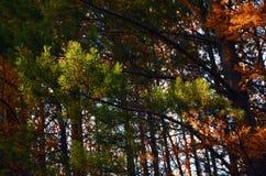 Branches de pin Photo libre de droits
