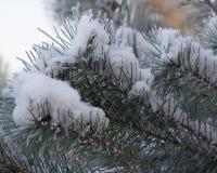 Branches de pin Photographie stock libre de droits