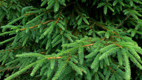 Branches de pin Photos stock