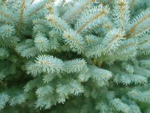 Branches 2 de pin Image stock