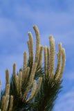 Branches de pin atteignant vers le ciel Photographie stock