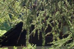 Branches de pin avec des cônes dans le contre-jour Photo libre de droits