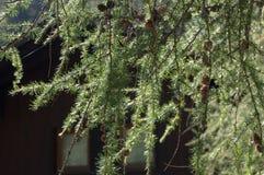 Branches de pin avec des cônes dans le contre-jour Photos stock