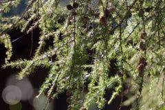Branches de pin avec des cônes dans le contre-jour Photographie stock