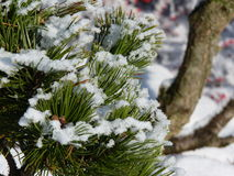 Branches de pin avec la neige Photo libre de droits