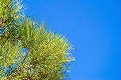 Branches de pin contre le ciel bleu Photos stock