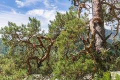 Branches de pin de courbes sur le fond des montagnes et du ciel, Altai, Russie photo stock