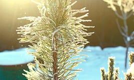 branches de pin couvertes de neige à la lumière du soleil Photo libre de droits