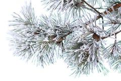 Branches de pin dans le klaxon Fond de matin d'hiver image stock