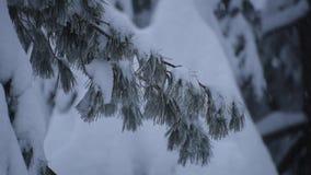 Branches de pin de chute de neige importante banque de vidéos