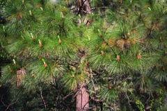 Branches de pin pelucheuses Photo stock