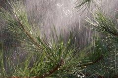 Branches de pin sous la pluie photos stock