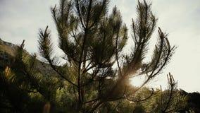 Branches de pin tremblant dans le vent après la pluie dans le jour ensoleillé Scène splendide de forêt avec des baisses évasées e clips vidéos