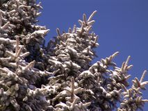 Branches de Pinetree - neige Images stock