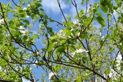 Branches de pommier avec de belles fleurs et jeunes feuilles vertes image libre de droits