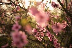 Branches de ressort avec les fleurs roses au soleil Photographie stock