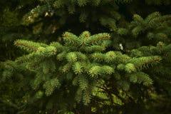 Branches de sapin Photo libre de droits