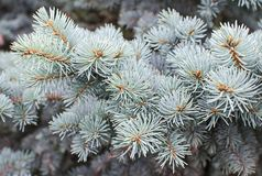 Branches de sapin bleu Photographie stock