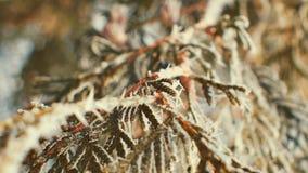 Branches de sapin couvertes de gelée ensoleillée clips vidéos
